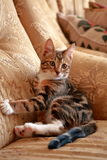 Cautious cat is sitting on the couch. The cautious cat is sitting on the couch and closely watching what is happening Stock Photo