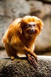 Cautious Chimps at the Zoo. A red and golden chimp views a zoo visiter cautiously Royalty Free Stock Images