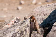 Cautious chipmunk Royalty Free Stock Photography