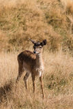 Cautious deer fawn Royalty Free Stock Photo