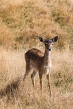 Cautious deer fawn standing  on meadow. Cautious deer fawn standing  on grassy meadow Stock Photo