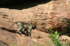 Cautious Descent. Monkey treading cautiously down the rocky hill Royalty Free Stock Image