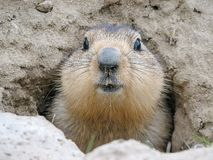 Cautious Groundhog close up, Baikonur, Kazakhstan. Fluffy head of a scared marmot against the background of mink in the ground royalty free stock photo