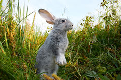 Cautious hare. Image of cautious rabbit standing in green grass in summer Royalty Free Stock Photo