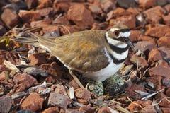 Cautious killdeer on a nest stock photo