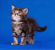 Cautious kitten Royalty Free Stock Photography