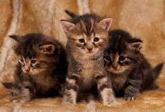 Cautious kittens. Cautious little kittens over dirty mustard color background Royalty Free Stock Photography