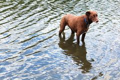 A cautious looking dog waiting in the water Royalty Free Stock Photo