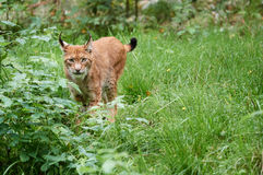 Cautious lynx standing in the grass. On meadow in summer Royalty Free Stock Image