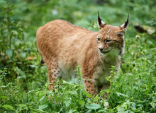 Cautious lynx standing in the grass. On meadow in summer Royalty Free Stock Photos