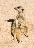 Cautious meerkat Stock Photography