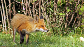 Cautious red fox Stock Photography