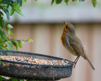 Cautious Robin. A British robin checks above before tucking into a feast of seeds Stock Photos