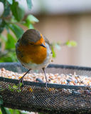 Cautious Robin. A British robin wisely checks for danger before tucking into a feast of seeds Royalty Free Stock Image