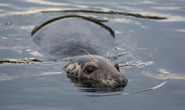 Cautious seal lying in the water. Cautious seal lying motionless in the water Royalty Free Stock Image