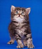 Cautious siberian kitten Stock Photos