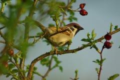 Cautious sparrow Royalty Free Stock Photo