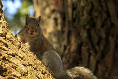 Cautious Squirrel Stock Photography