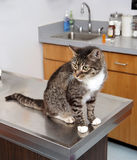 Cautious Tabby Cat at the Vet. Tabby cat on veterinarian`s examination table with cautious alert expression Royalty Free Stock Image