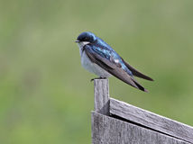 Cautious Tree Swallow. A cautious Tree Swallow (Tachycineta bicolor) sitting on a nesting box.  Shot in southern Ontario, Canada Royalty Free Stock Image