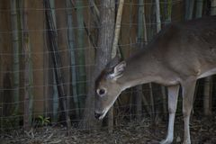 Close up of a Cautious Doe. Cautious white-tailed deer doe Odocoileus virginianus listening for danger Stock Image