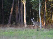 Cautious whitetail doe in North Carolina. Whitetail doe being cautious coming out of the woods in North Carolina stock image