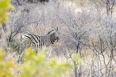 Cautious zebra is hiding into savannah and looking into camera. Cautious zebra is standing and looking into camera at savanna of Etosha National Park of Namibia Stock Photos