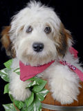 Cavachon Dog Stock Photography