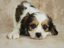 Free Cavachon Puppy Royalty Free Stock Images - 18933799
