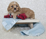Cavachon Puppy Stock Photography