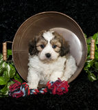 Cavachon Puppy Royalty Free Stock Photography