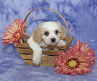 Cavachon Puppy Stock Images