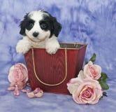 Cavachon Puppy stock image