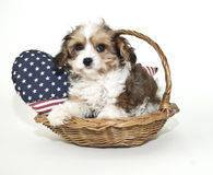 Cavachon Puppy Stock Photos
