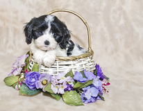 Cavachon Puppy Royalty Free Stock Image