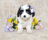 Cavachon Puppy Stock Photo