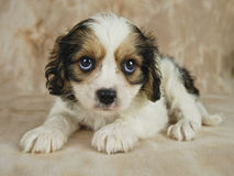 Cavachon Puppy Royalty Free Stock Images