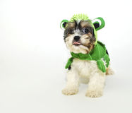 Cavachon Puppy in a Frog Costume Royalty Free Stock Photo