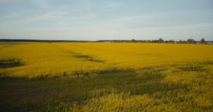 Cavalcavia di fioritura del campo della violenza gialla agricola Seme di ravizzone maturo del canola contro panorama del cielo bl stock footage