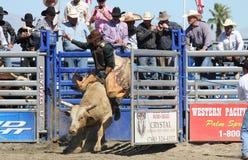Cavaleiro de Bull fora da porta Imagem de Stock