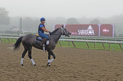 Cavaleiro fêmea do cavalo do exercício, Saratoga Springs, NY, Tom Wurl Imagens de Stock Royalty Free