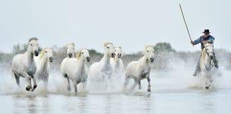 Cavaleiros e rebanho dos cavalos brancos de Camargue que correm através da água Foto de Stock Royalty Free