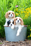 Cavalier Stock Photography