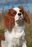 Cavalier de Blenheim Photos stock