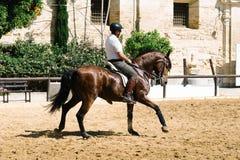 Cavalier de cheval montant un cheval andalou brun dans le St royal historique Photo stock