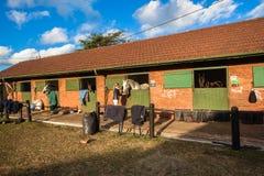 Cavalier de femme d'alimentation d'écuries de chevaux Photographie stock libre de droits