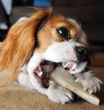 Cavalier Dog with bone Royalty Free Stock Photography