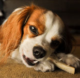 Cavalier Dog Chewing Bone Royalty Free Stock Photo