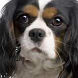 Cavalier King Charles (2 years) Stock Photos