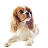 Cavalier king charles Royalty Free Stock Image